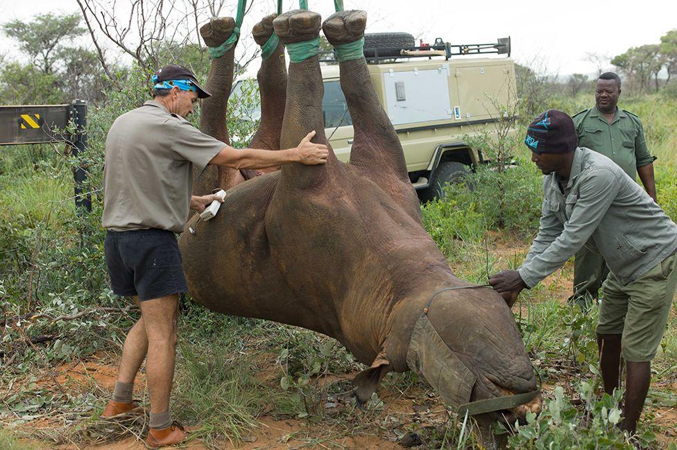 Upside-down rhino research wins Ig Nobel Prize - BBC News