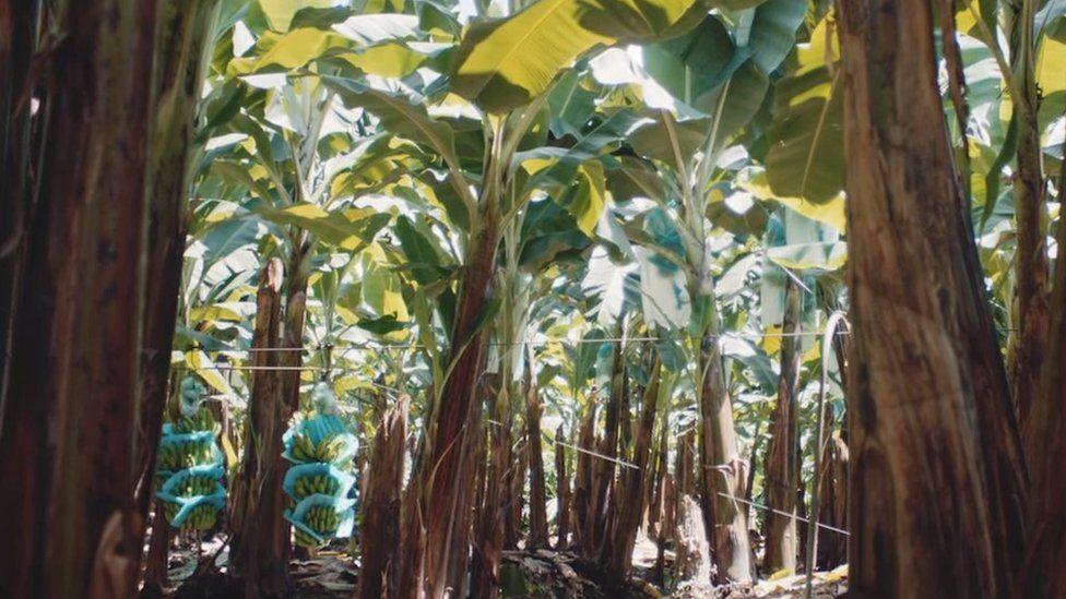 Banana plantation Ecuador