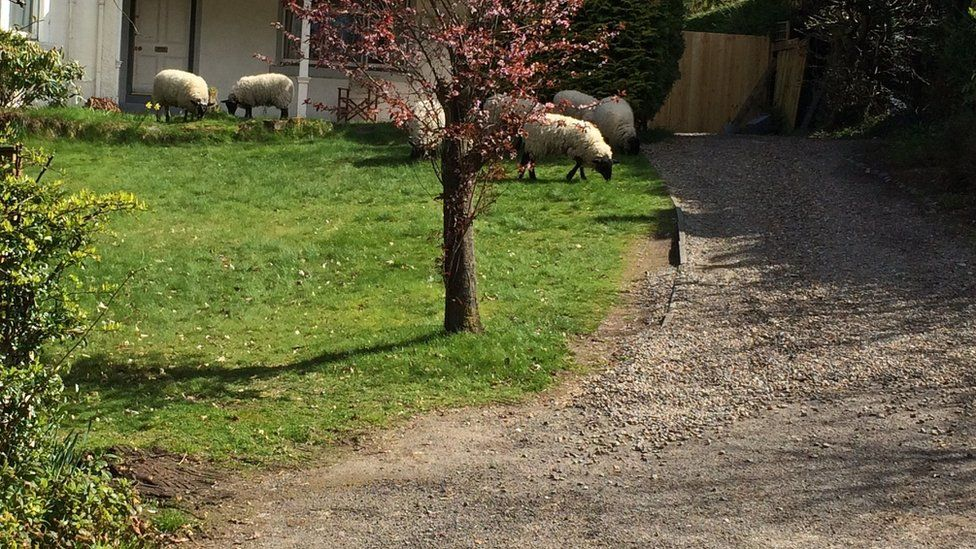 Sheep in Inverness