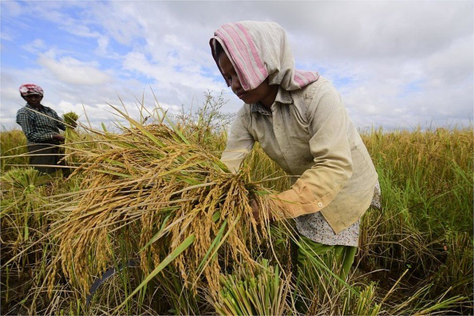 India paddy cultivation