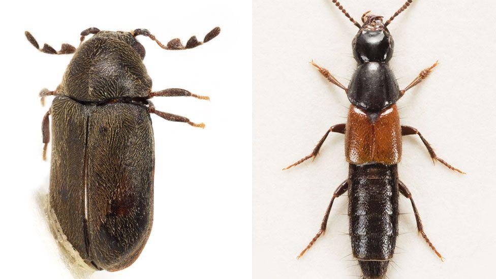 Mirosternomorphus heali Bercedo & Arnaiz (left), and Quedius lyszkowskii Lott beetles
