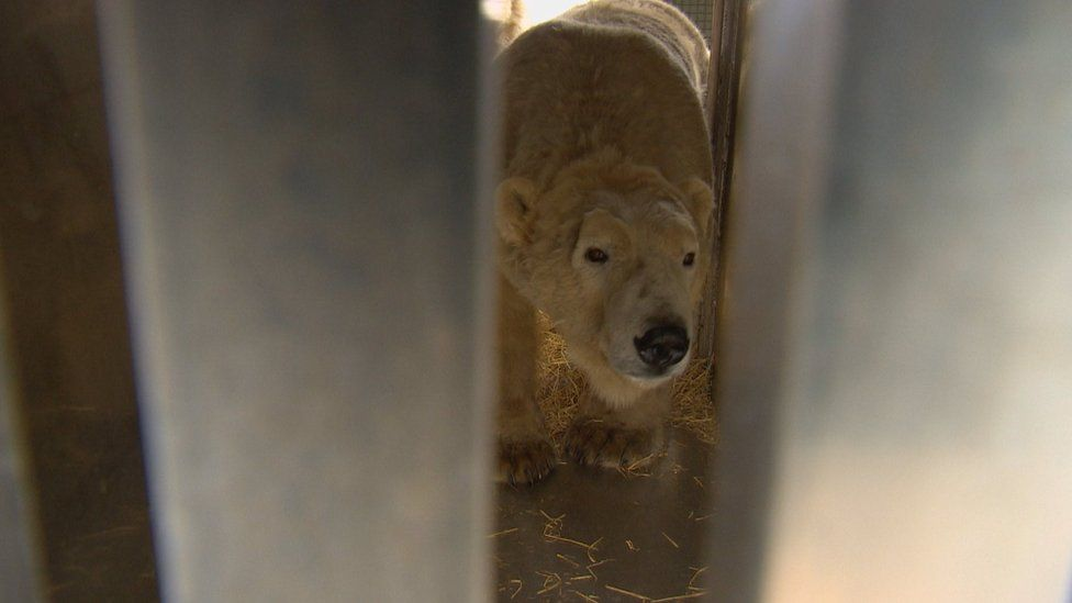 Polar bear Walker exploring the crate