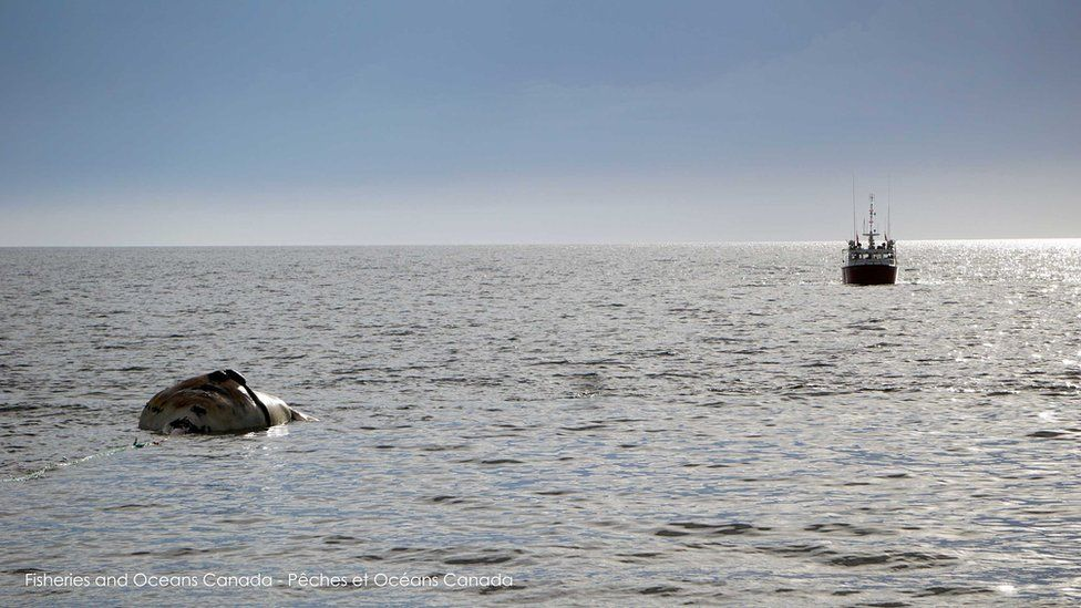The carcass of a dead whale being towed near Prince Edward Island