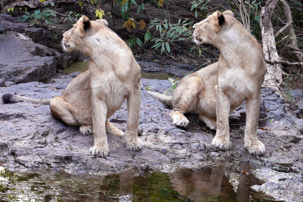 Big cats drinking water photographed by Sandeep Kumar, Deputy Conservator of Forests in Gir