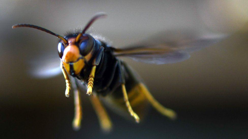 The invasive Asian hornet