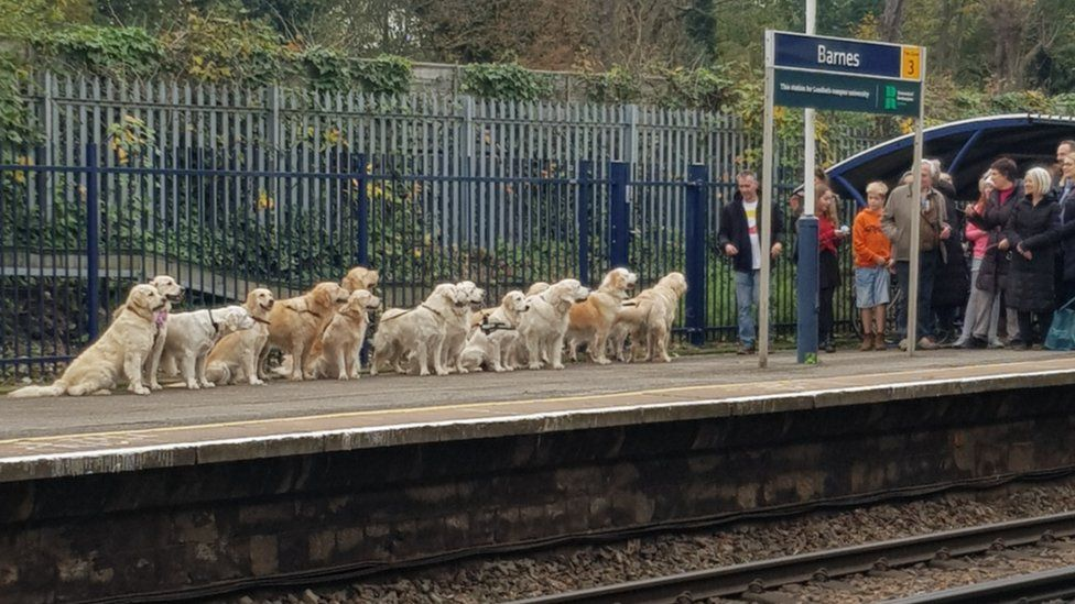 Golden retrievers see Barnes station go 'barking mad'
