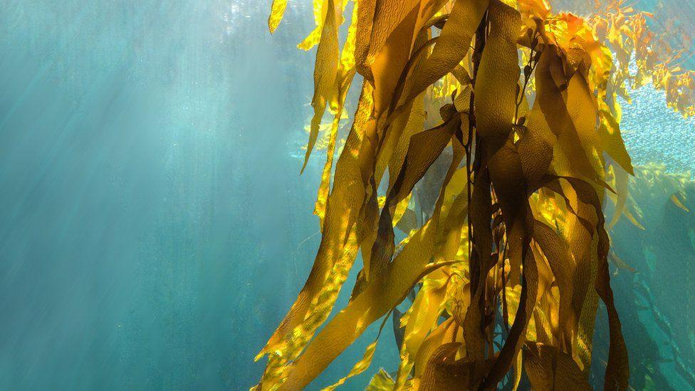Kelp growing under water