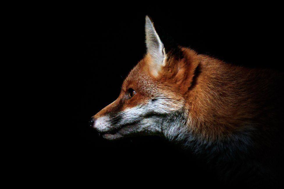 A fox in a garden in Amersham, England