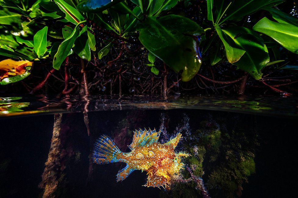 A sargassum frogfish swims amongst mangrove trees in Netherlands Antilles