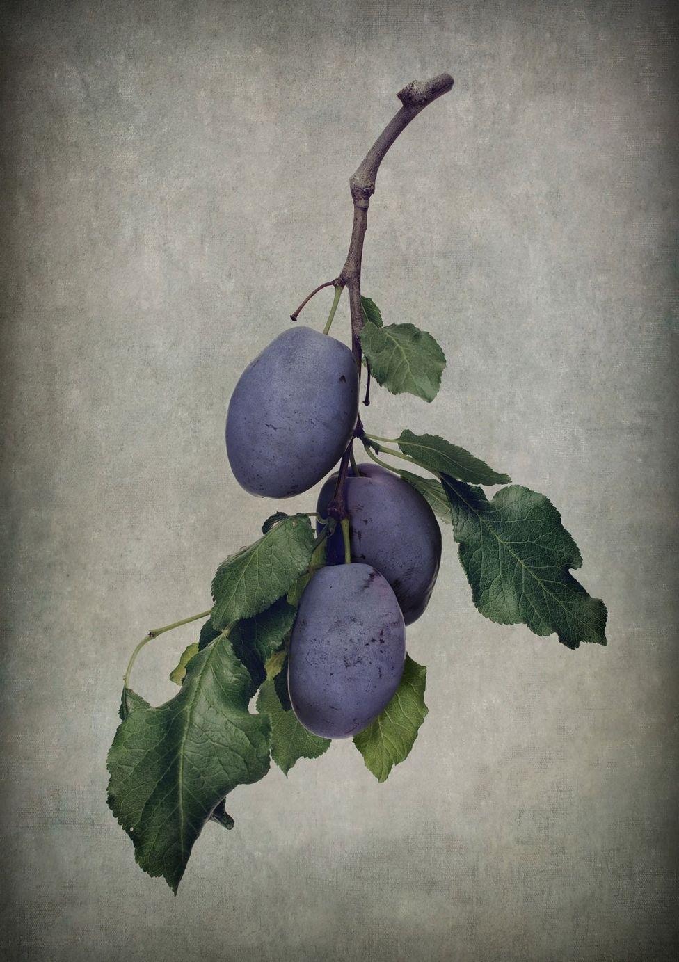 Una rama con hojas verdes y ciruelas púrpura.