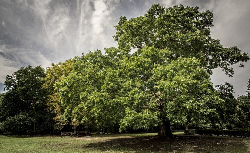 Gilwell Oak, Essex