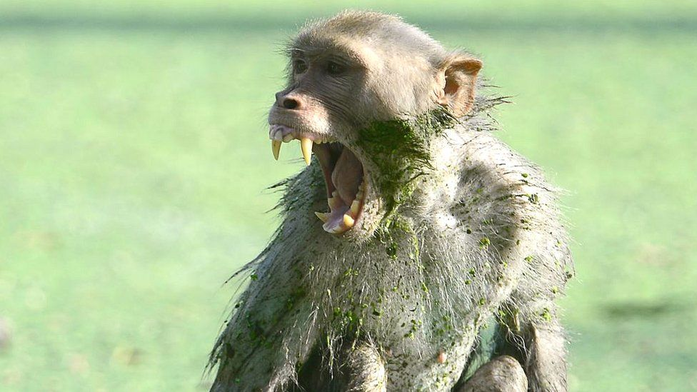 An Indian monkey shouts, covered in algae, after bathing on a hot day