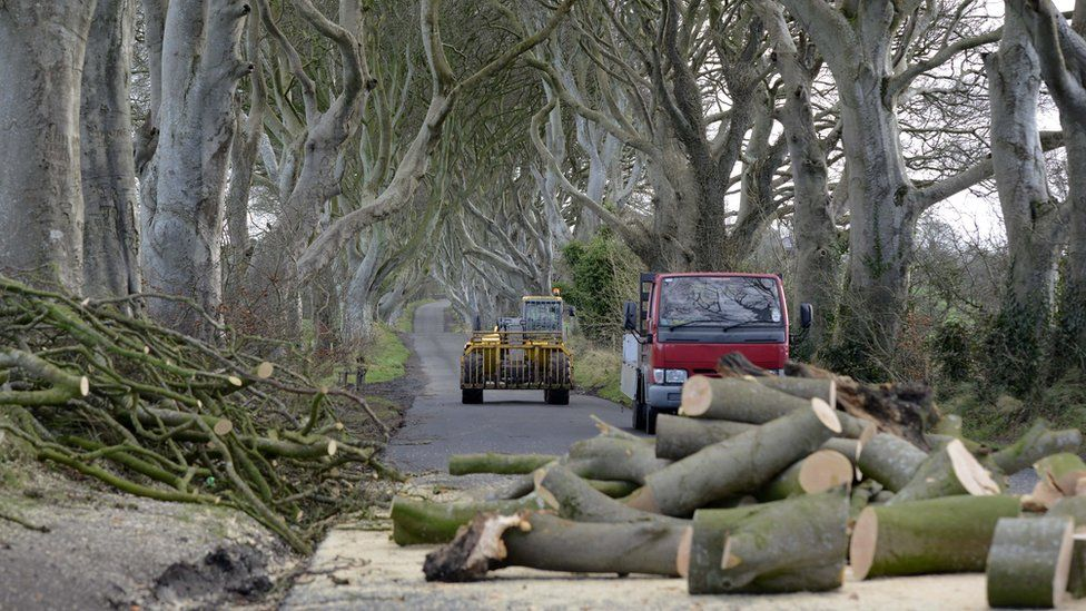 Forestry workers remove the fallen beech trees at the Dark Hedges