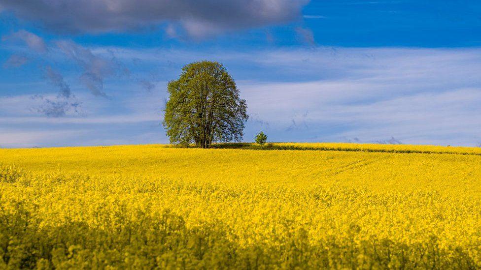 Lone tree in rape field