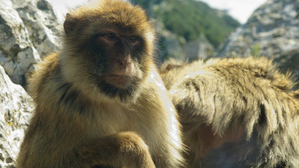 Barbary macaques are among Gibraltar's most famous residents
