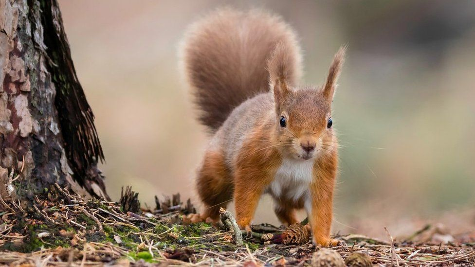 Red squirrels relocated to Highlands woodland