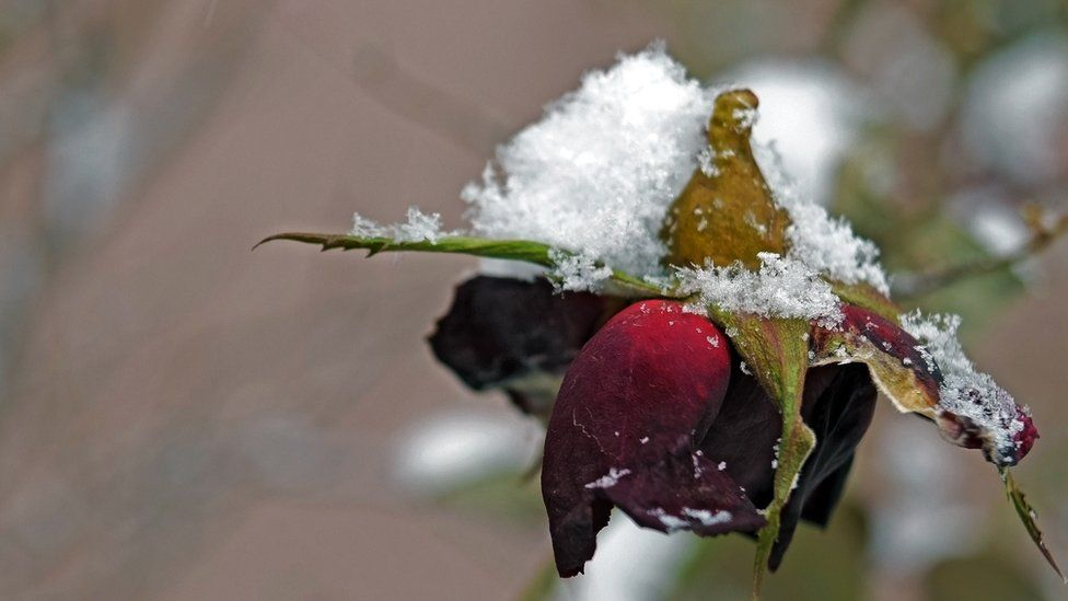 A rose bloom wilting under the weight of some snow