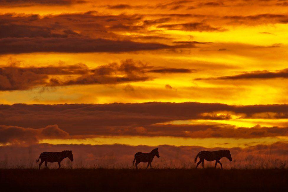 Silhouette photo of zebras