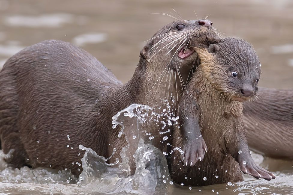 A smooth-coated otter parent carrying offspring in its mouth