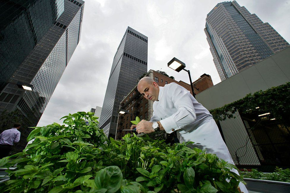 A chef in LA harvests herbs from his green roof