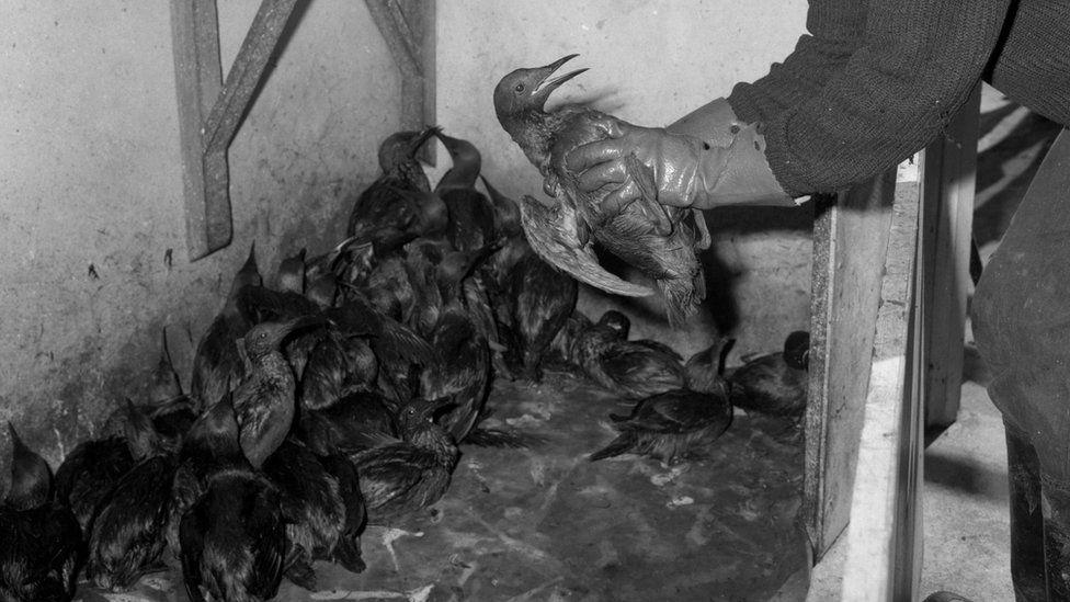 Oil-covered birds