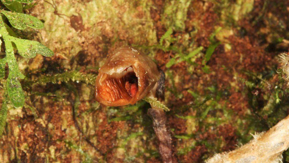 Gastrodia agnicellus