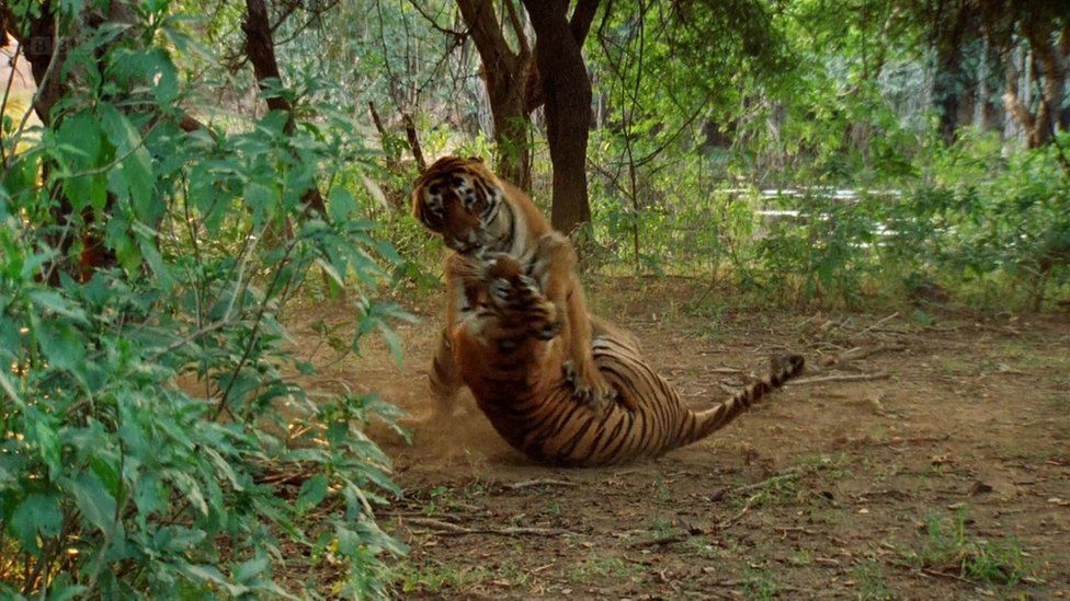 Machli and another tiger fighting