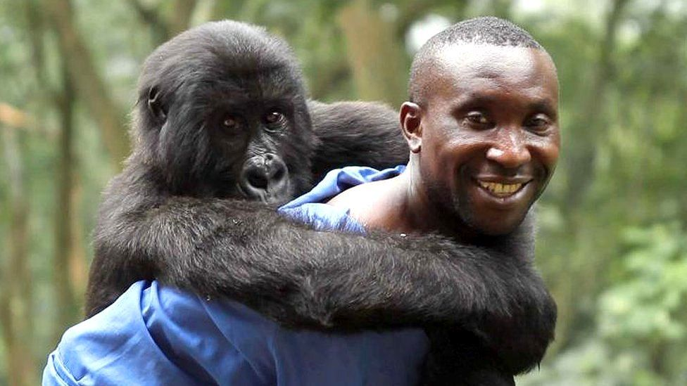 Andre Bauma with his adopted gorilla daughter