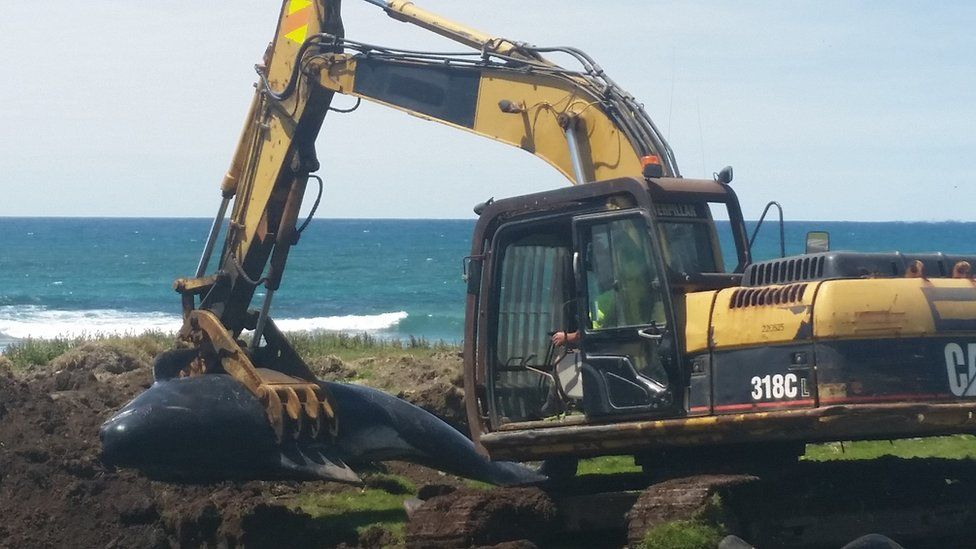A digger carrying a dead pilot whale on Chatham Island, NZ