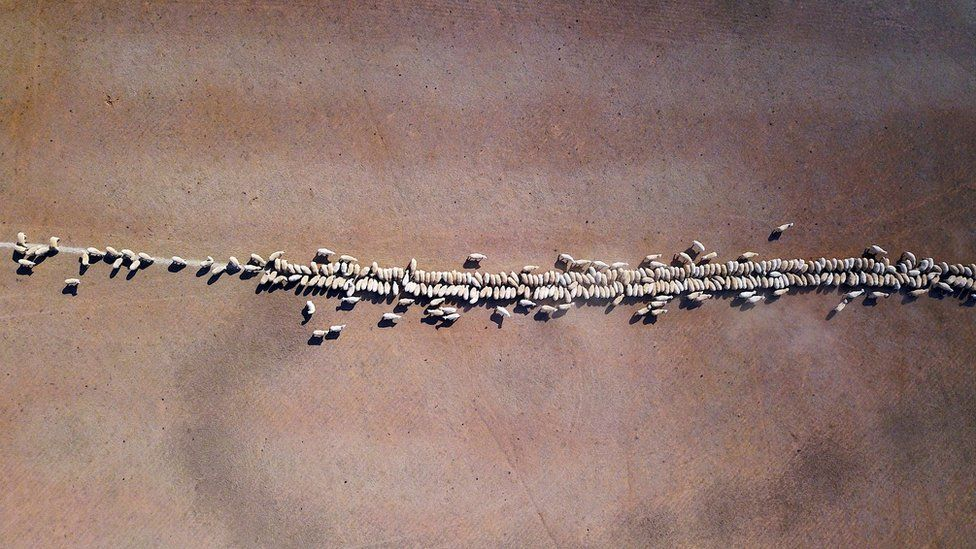 Sheep eat grain dropped in a drought-affected paddock on a property located on the outskirts of Tamworth