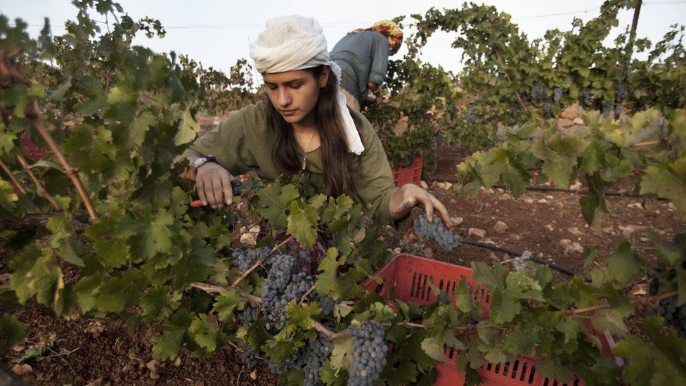 Grapes are harvested at a vineyard located in the mountains around the settlement of Ofra in the West Bank, north of Jerusalem (22 August 2010)
