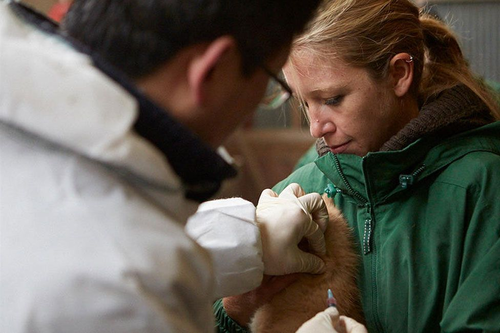Dog having injection