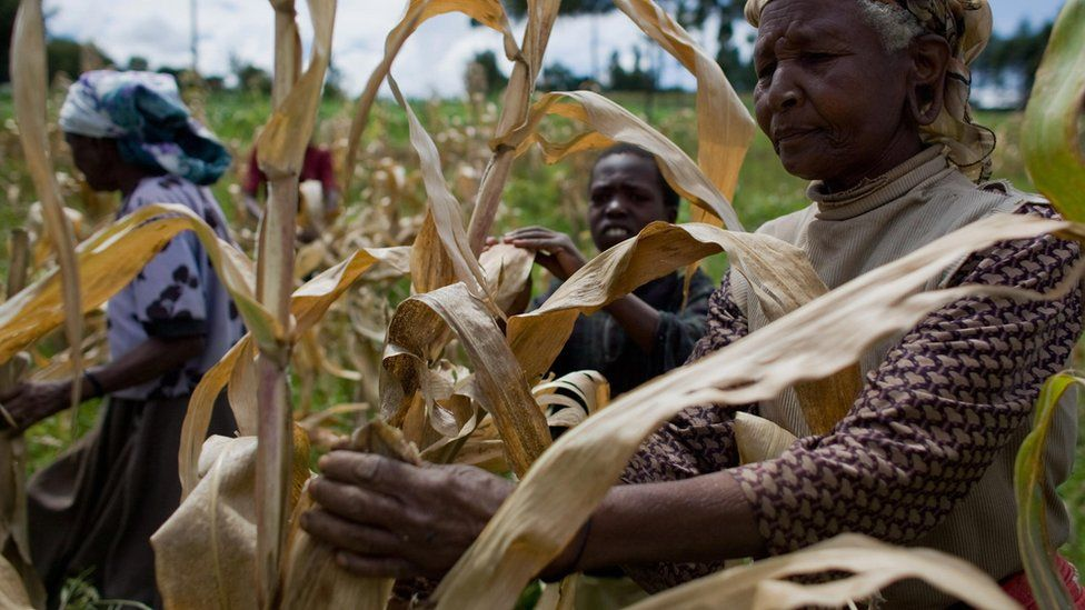 Kenyan farmers pick through their maize crop in a field in the village of Kapsimatwa near the Rift Valley town of Bomet in western Kenya on September 9, 2008.