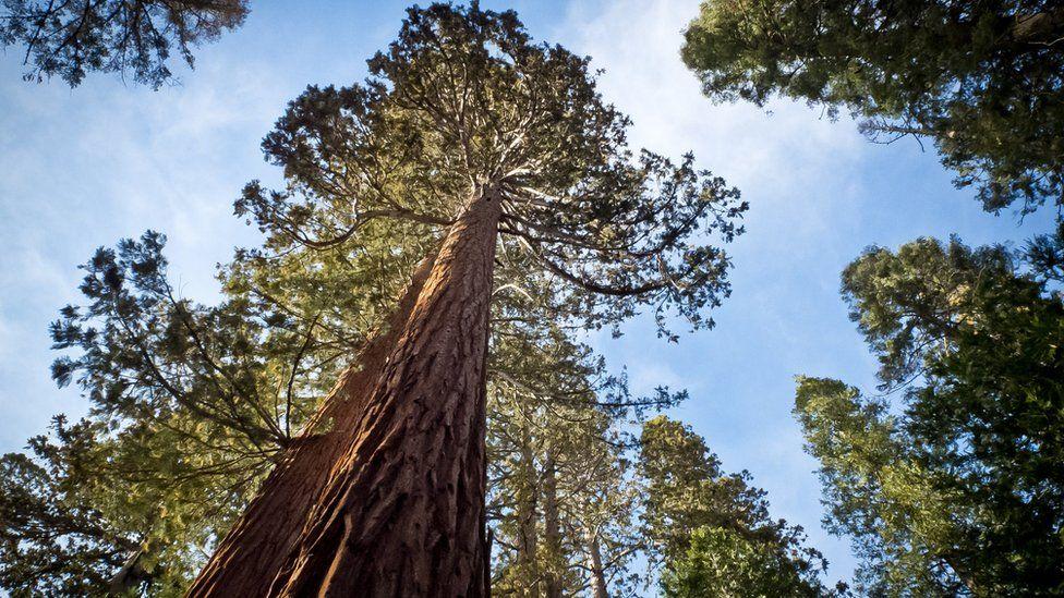 Cómo el desierto del Gobi es clave para la supervivencia de las secuoyas de California, los árboles más grandes del mundo