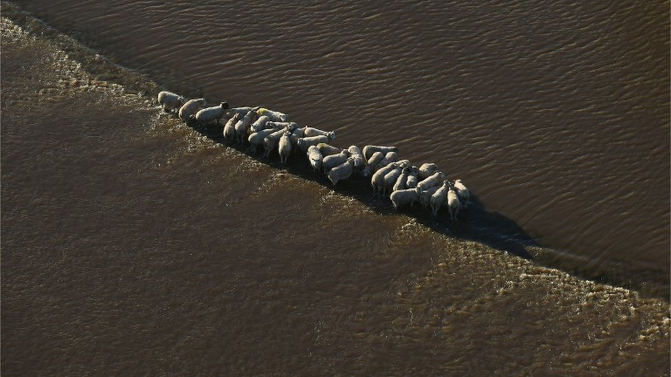 A herd of sheep stand stranded in floodwater in Cawood, North Yorkshire, after the River Wharfe burst its banks in December 2015