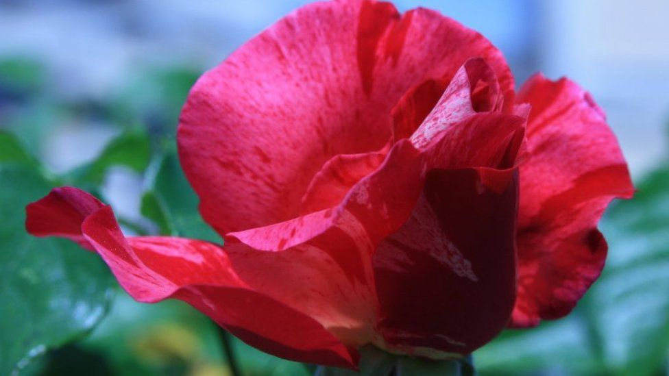 Genetic secrets of the rose revealed