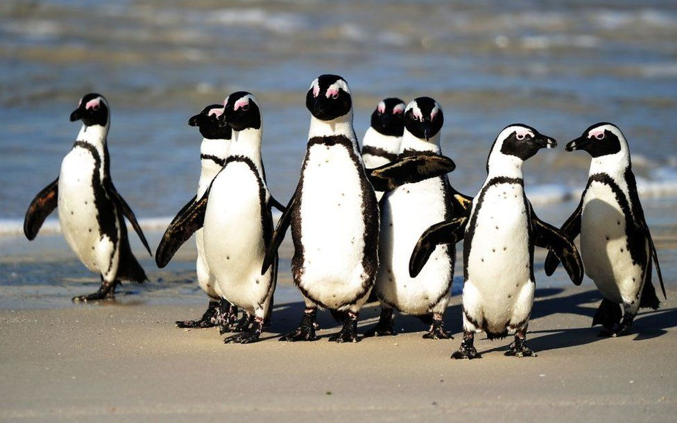 Endangered South African penguins killed by swarm of bees near Cape Town thumbnail