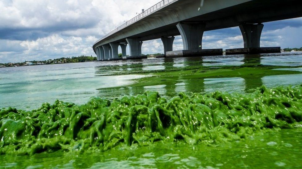 "Algae blooms along the Sewell""s Point shore on the St. Lucie River under an Ocean Boulevard bridge."