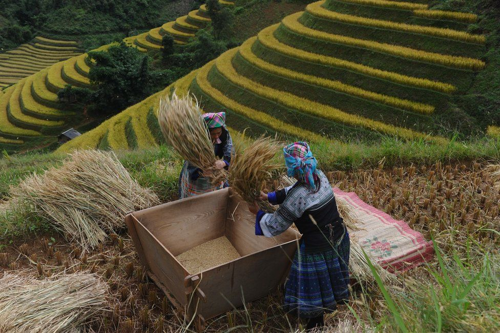 Woman working on rice plateau
