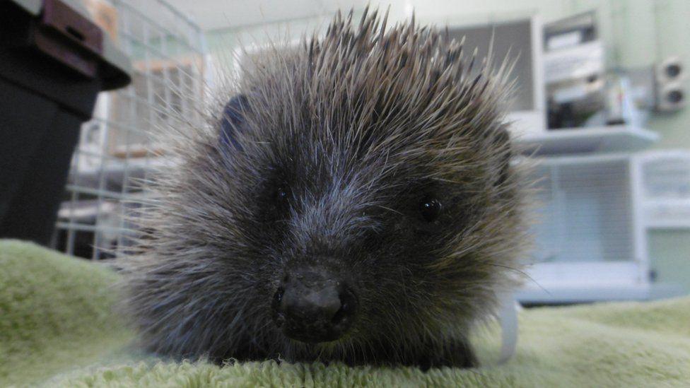 The hedgehog now