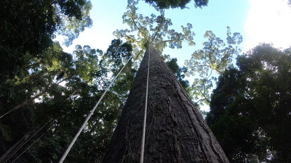 world's tallest tropical tree in Borneo rainforest
