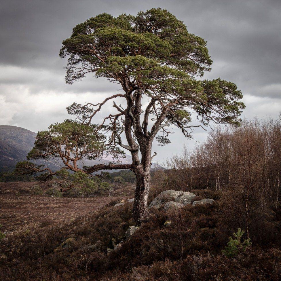 Glen Affric pine