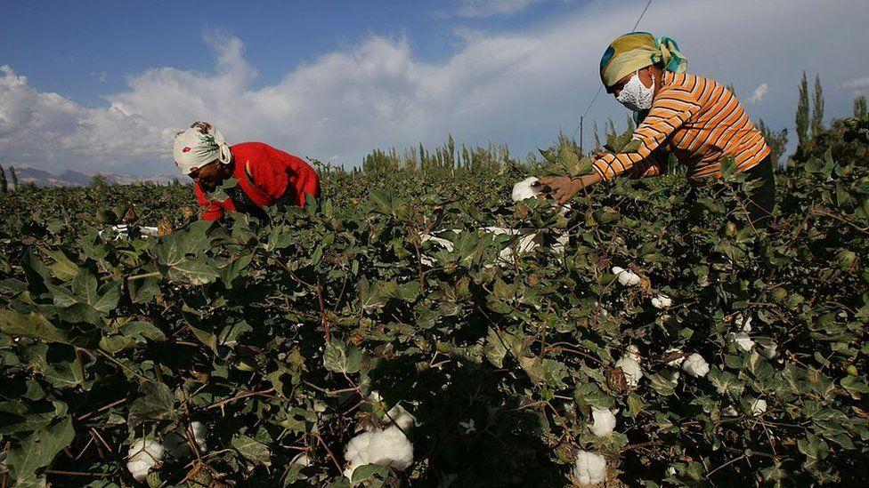 Uighur women picking cotton