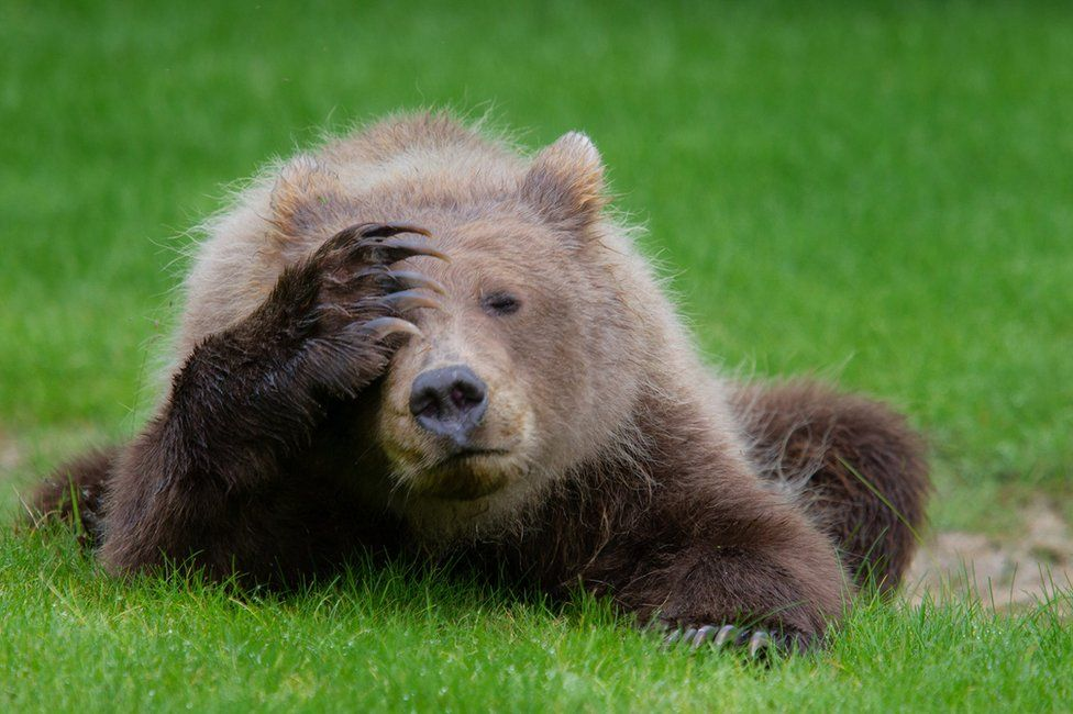 Bear holding a paw against its face