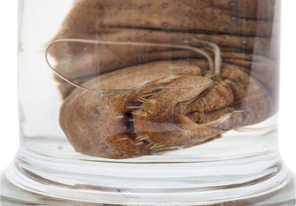 Threadfin dragonfish