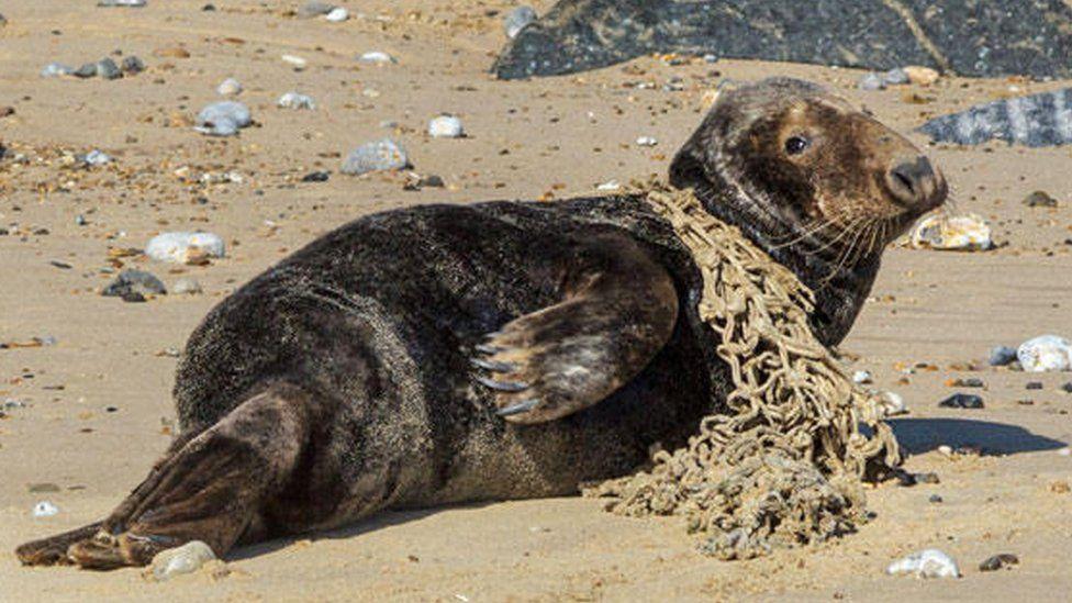 Scylla the seal