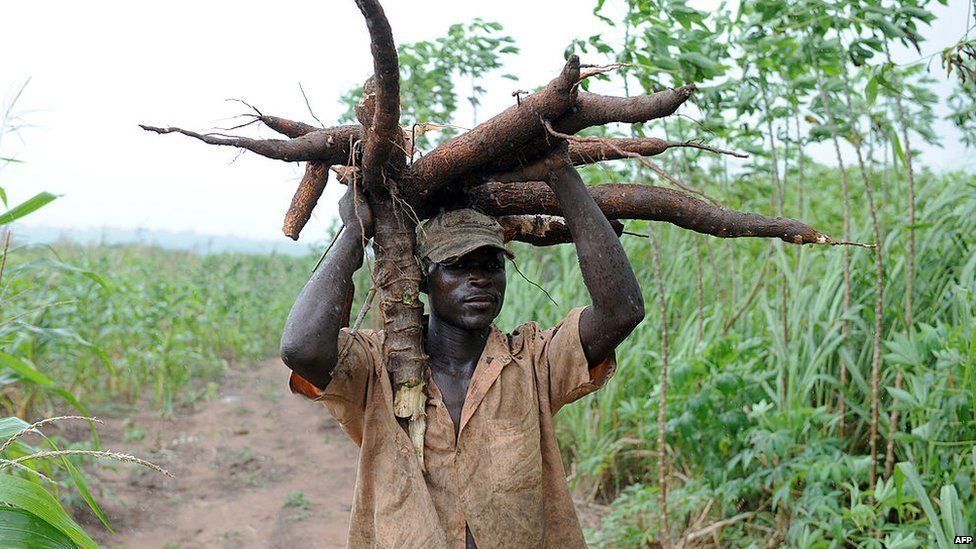 Cassava to the rescue? (picture of cassava with caption)