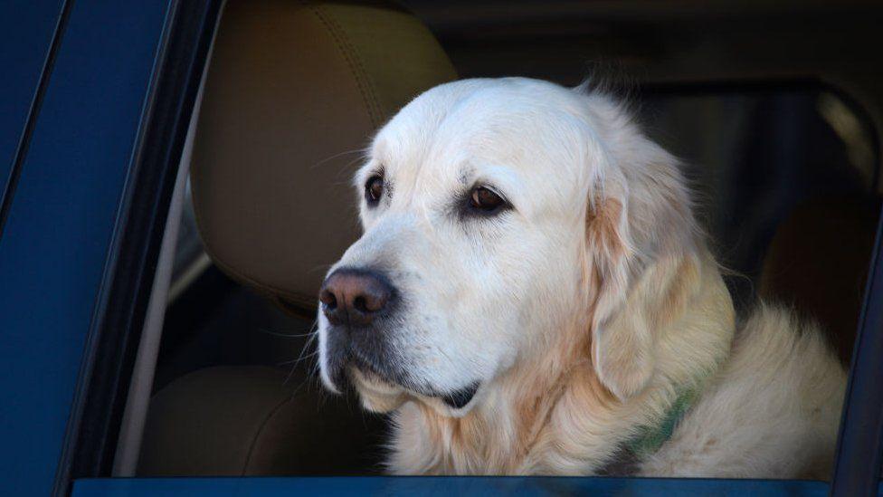 Labrador mirando por la ventanilla del coche