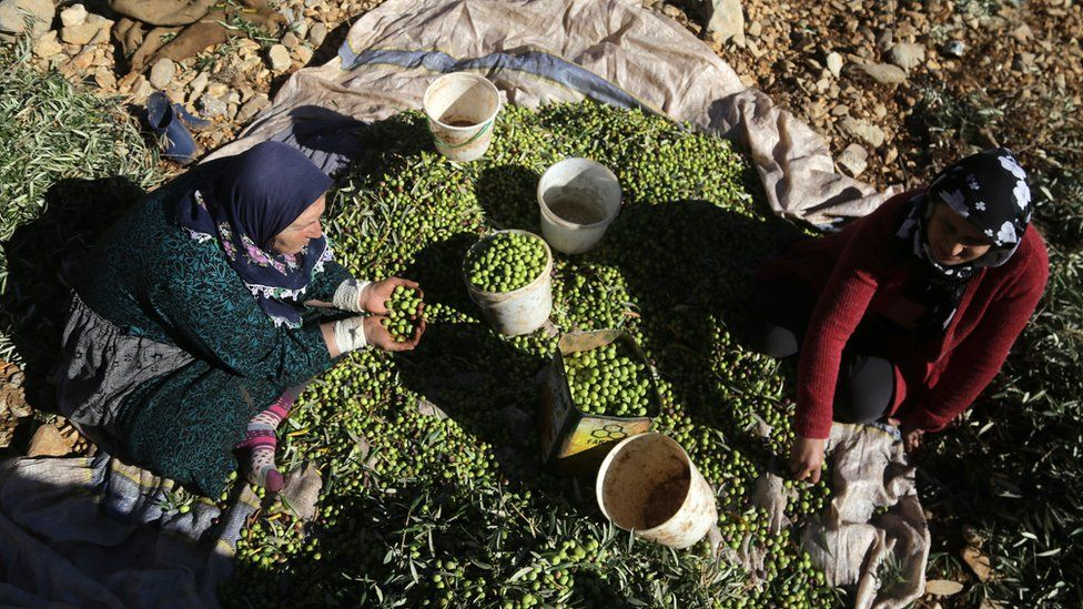 Two women sorting through fresh olives on a sheet on the ground
