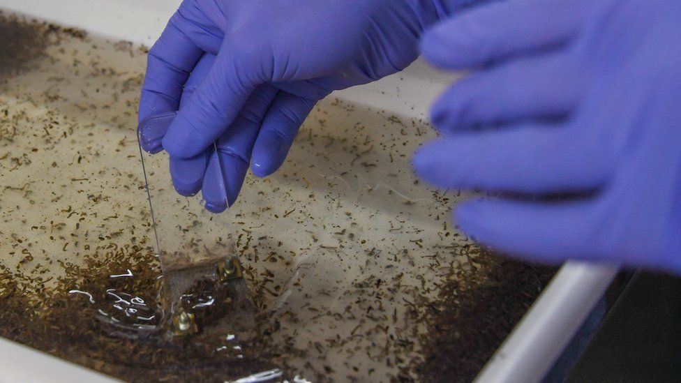 Mosquitoes in a tray